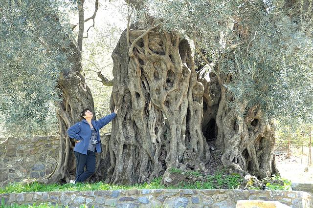 Olive 3000 Jahre