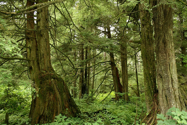 Forêt de Tsuga Heterophylla, Alaska