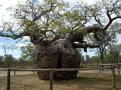 Baobab en Australie