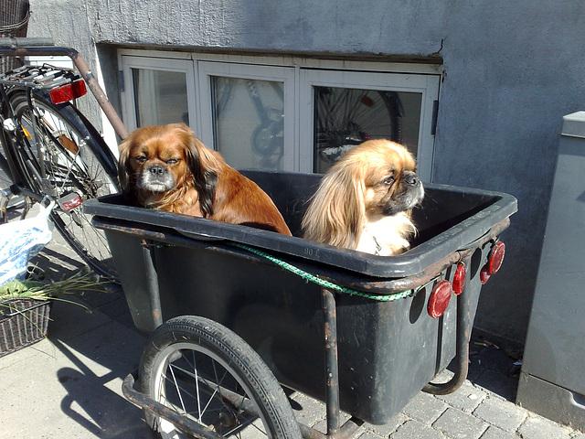 Dog taxi :)