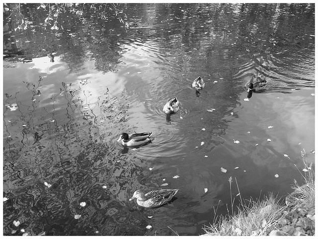 Canards sur miroir mouillé / Ducks on wet mirror  -  Ängelholm.  Suède / Sweden -  B & W