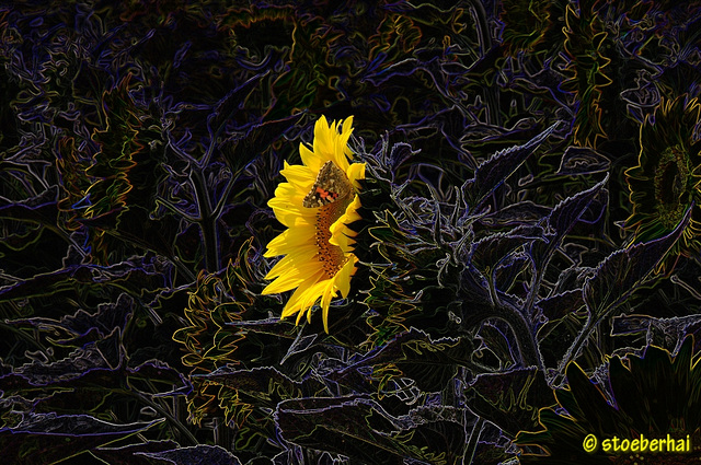 Sonnenblumenfeld mit Schmetterling