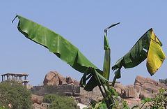 l'oiseau-bananier