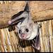 Fledermaus beobachtet mich / Bat's watching me
