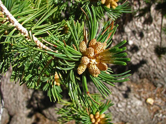 Baby Pine Cones (0487)