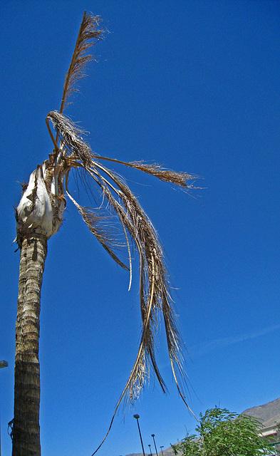 Dead Palm (3361)