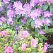 Rhododendron und Azalee