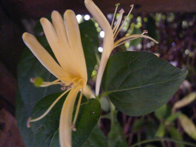 fleur de bégonia