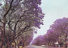 Jacaranda trees, Rhodésie