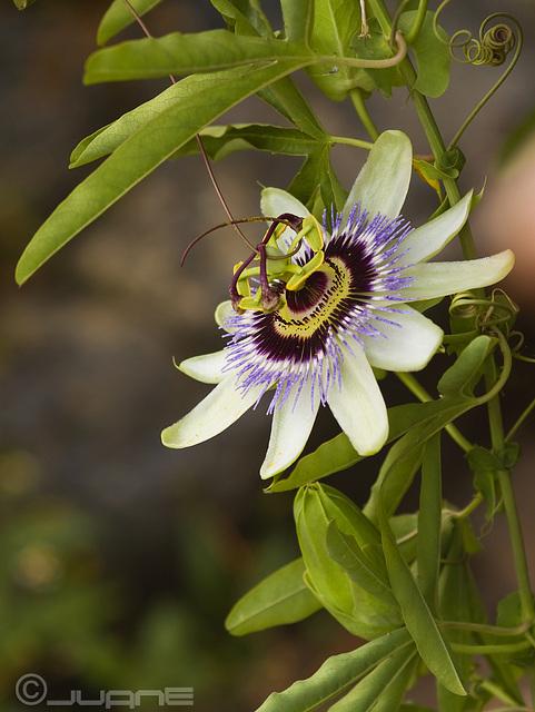 Flor de la pasión, Passiflora caerulea