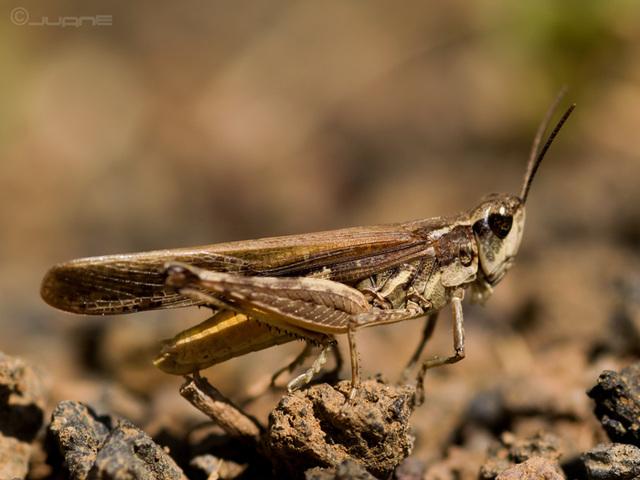 Aiolopus thalassinus macho