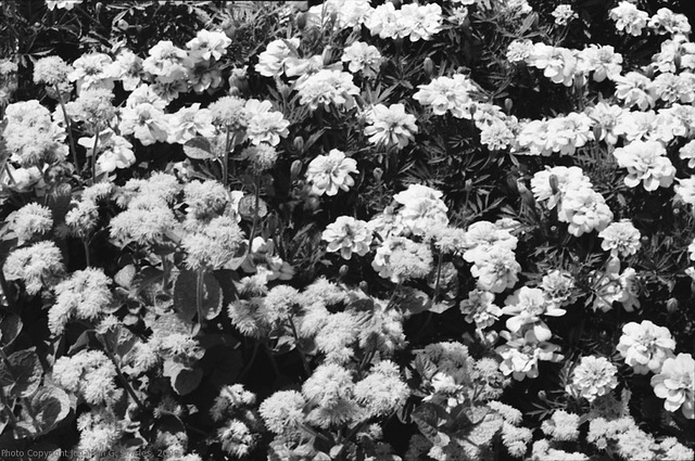 Bees on Flowers, Picture 2, Olomouc, Moravia (CZ), 2008