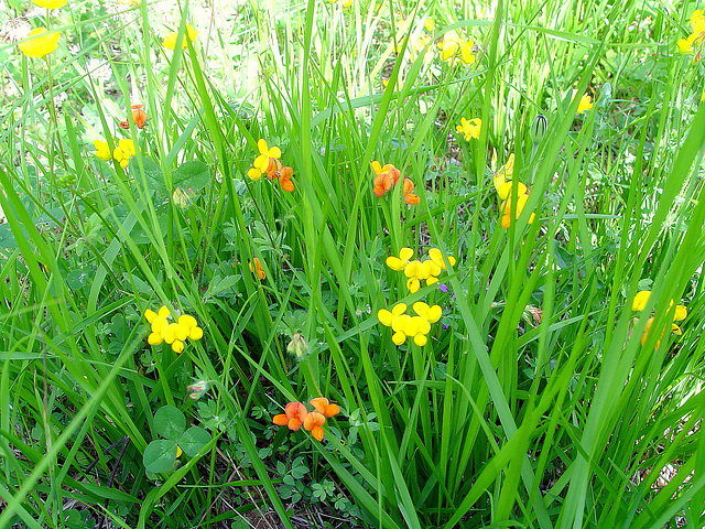 lou camin , chemin fleuri, vu au ras du sol