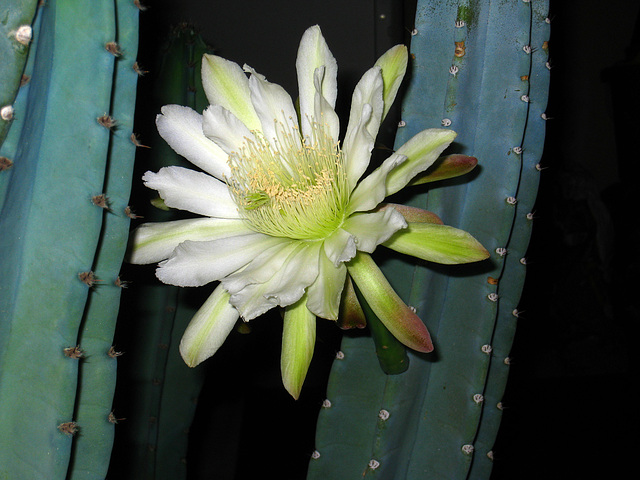Cereus Bloom (2846)