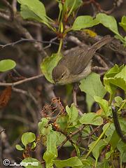 Mosquitero canario, phylloscopus canariensis,