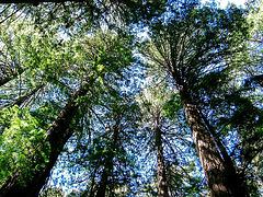 Sequoia-rois de Californie