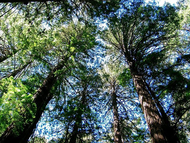 Sequoia-rois de Californie