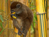 PB245148ac Aloatra Lemur Seated on a Minuscule Branch to Eat a Mango