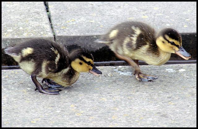 Kleine Entchen / Little duckies