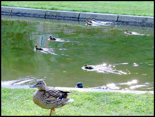 Entchen - Wettschwimmen / Duckies swimming contest