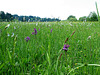 Knabenkräuter- und Wollgraswiese