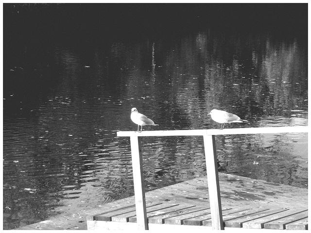 Mouettes en pause - Seagulls break  /  Ängelholm / Suède - Sweden .  23 octobre 2008 - En noir et blanc - B & W