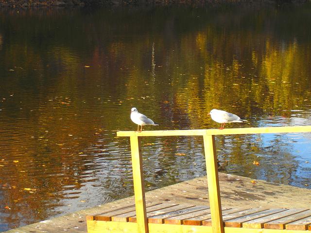 Mouettes en pause - Seagulls break  /  Ängelholm / Suède - Sweden .  23 octobre 2008
