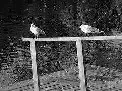 Mouettes en pause - Seagulls break  /  Ängelholm / Suède - Sweden .  23 octobre 2008- B & W  -  Noir et blanc
