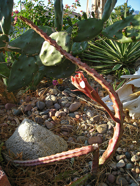 Cactus (2422)