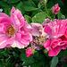Rosen im Rosengarten - Rathen