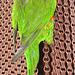 IMG 2008 Papagei Lesezeichen