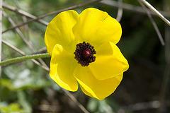 Asiatischer Hahnenfuß 2 (Ranunculus asiaticus)