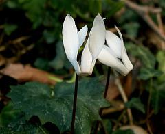 Kretisches Alpenveilchen (Cyclamen creticum)