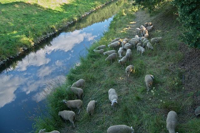 Schafe am Fluß