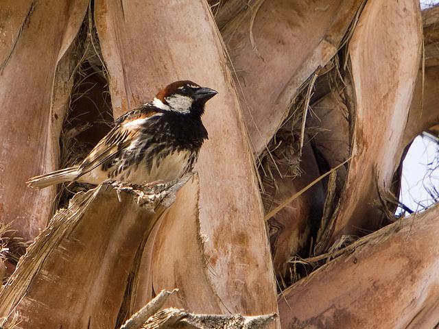 Gorrion moruno-Passer Hispaniolensis (♂)