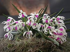 Orchidées du Brésil