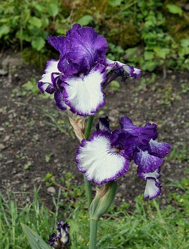 Iris Art Deco