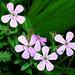 petites fleurs de rocailles