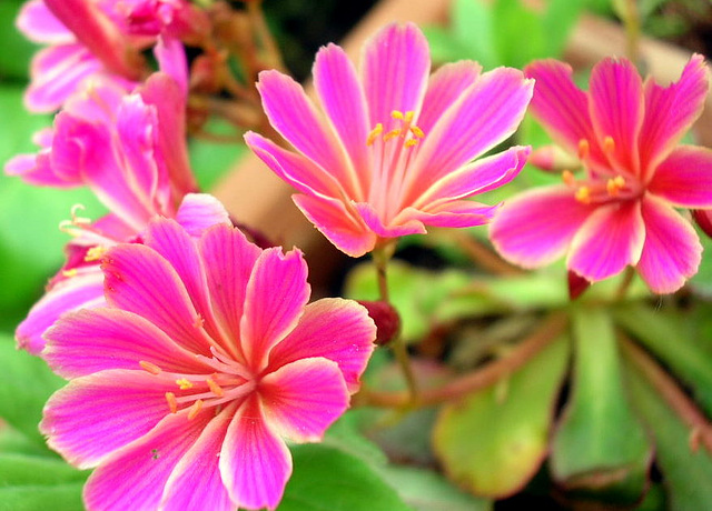 éclats de fleurs roses