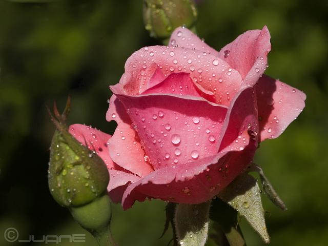 Rosa rosae rose