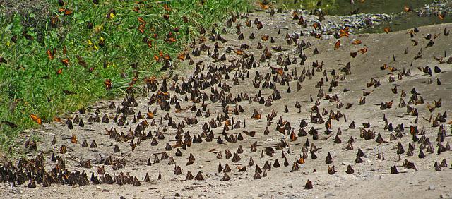 Butterflies (0234)