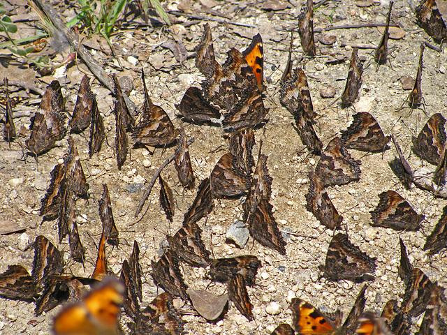 Butterflies (0239)