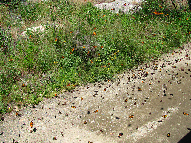 Butterflies (0240)
