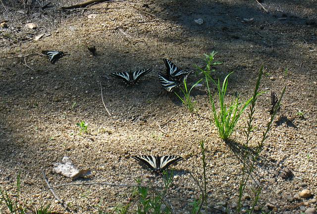 Butterflies (2591)