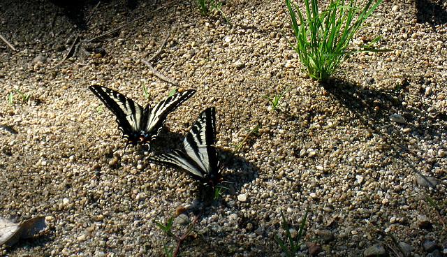 Butterflies (2592)