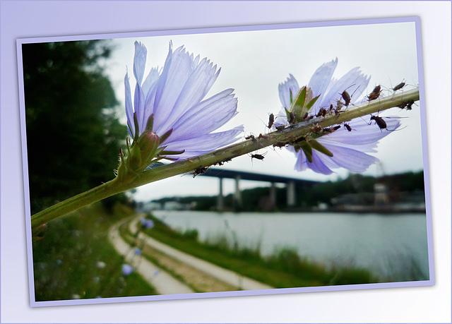 Flower with vistors (*Wegwarte* Blume 2009)