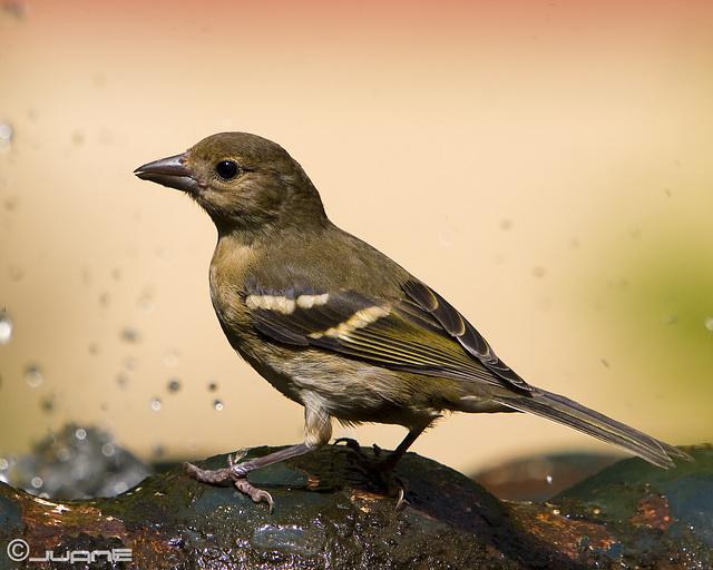 Pinzón Vulgar (Fringilla coelebs tintillon) (♀)