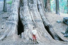 Sequoia géant, Californie