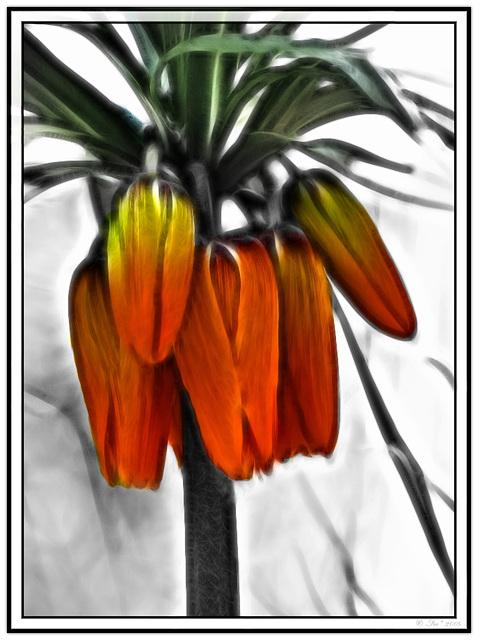 Imperial Crown (flower)