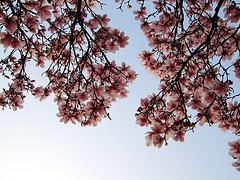 Magnolienhimmel